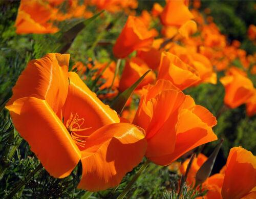 Kalifornischer Mohn 1.000 Samen Orange  Eschscholzia Californica