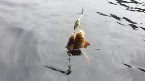 Perch Fishing Lures Westin BabyBite DR Crankbait 6.5cm 13g Floating