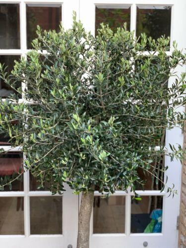 Large Loose Ball Shaped Olive Tree Large specimen