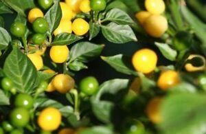 Aji-Charapita-gelbe-Chilli-m-scharfen-Fruechten-Wildchili-aus-Peru-Bird-Charapita