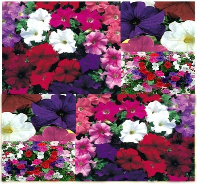 Petunia nana compacta (Dwarf Petunia Mix) Wildflower Seeds CONTAINER PLANT SHADE