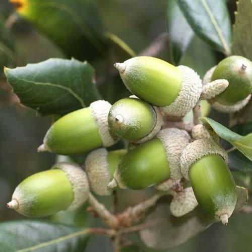 2 Litre Pot Holly Oak in 17cm Holm Oak Quercus ilex Evergreen Oak