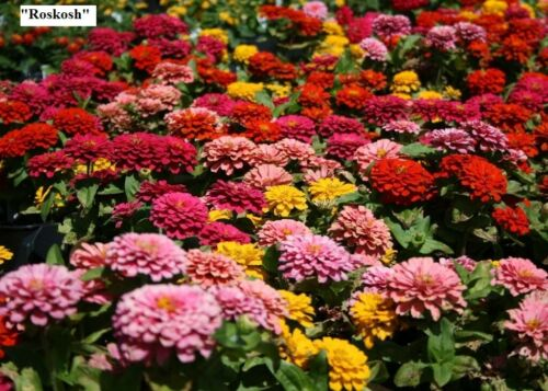 Lime Orange Blue Double Mix Large. Flower seeds Zinnia Pink Yellow Red