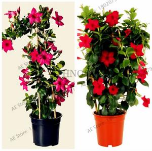100-PCS-Seeds-Mandevilla-Sanderi-Dipladenia-Bonsai-Flowers-Plants-Free-Shipping
