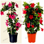 100-PCS-Seeds-Mandevilla-Sanderi-Dipladenia-Bonsai-Flowers-Plants-Free-Shipping thumbnail 1
