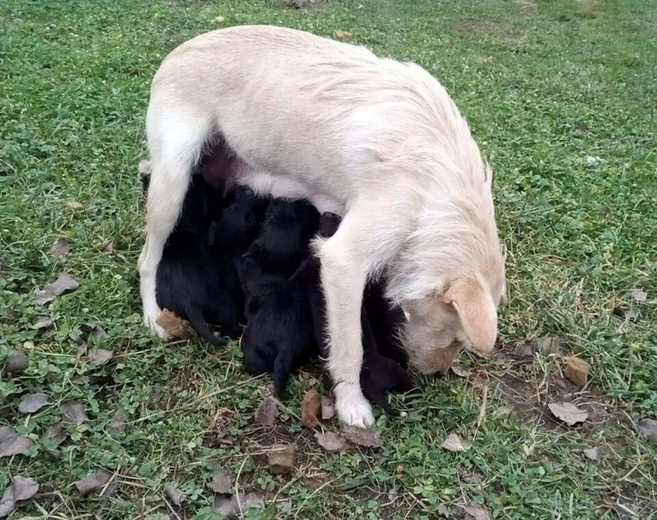Riesenschnauzer / irsk ulvehund, hvalpe, 12 uger