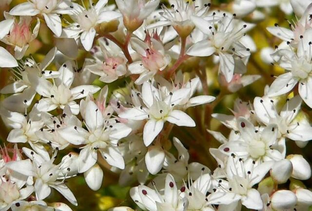 Flower - Sedum Album - White Stonecrop - 1000 Seeds