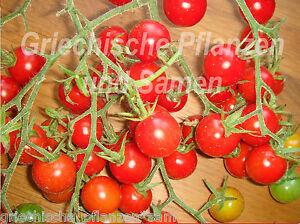 sweet pea current tomate mini tomaten 10 frische samen balkon k bel ebay. Black Bedroom Furniture Sets. Home Design Ideas