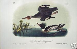 John-James-Audubon-034-Red-breasted-Merganser-034-Lithograph