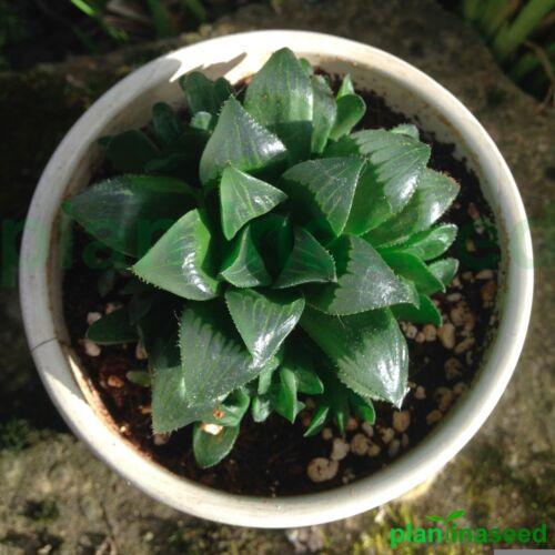 Star CactusHaworthia RetusaSucculentHouse PlantRooted Cutting