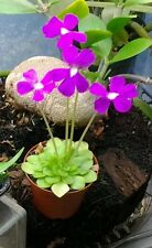 Butterwort pinguicula moranensis Carnivorous plant beautiful flowers! Adult size