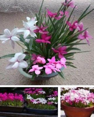 Set Zwerg-Schwertlilien Zimmerpflanzen groß wachsend bilden Ableger Duftblumen