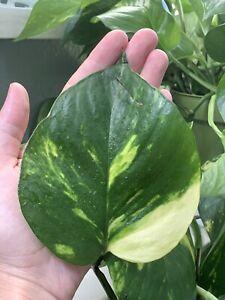 Golden-Pothos-Devil-039-s-Ivy-Money-Snake-Vine-Philodendron-Variegated-plant-Large
