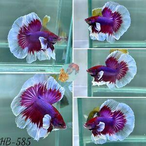 (HB-585) Butterfly Dumbo Lavender Halfmoon-Live Halfmoon Betta Fish High Quality