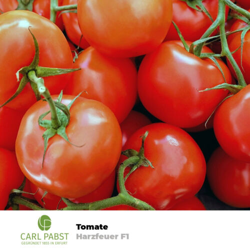 "Tomate /""Harzfeuer F1/"" Samen Tomatensamen Stabtomate Saatgut 15 Pfla Sämereien"