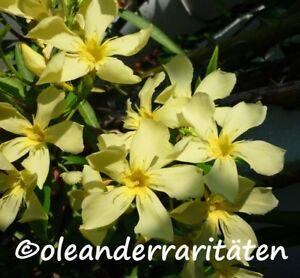 oleander pflanze marie gambetta 60 70cm 3l topf kanariengelb selten selten ebay. Black Bedroom Furniture Sets. Home Design Ideas