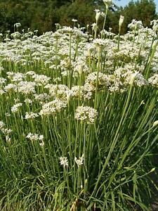 50-Semillas-de-Cebollino-Chino-Allium-Tumberosum