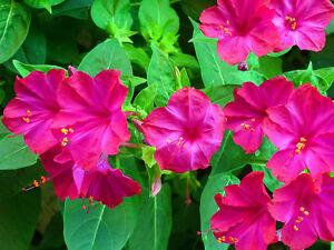 maravilla flower Gallery