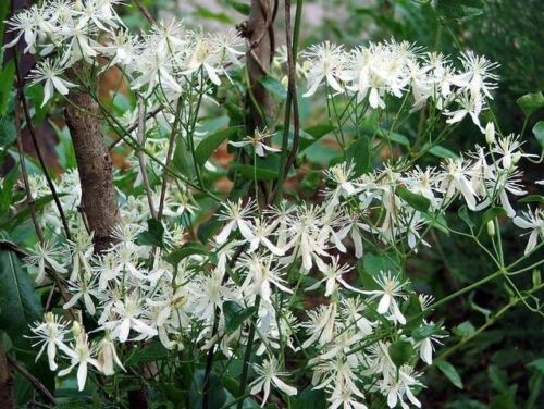 Gift /& Comb S//H 20 WHITE CLEMATIS Virginiana Virgins Bower Flower Vine Seeds