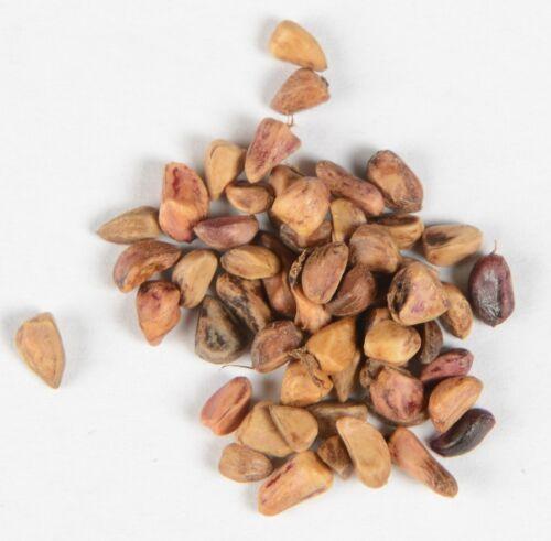 Bibernell-Rose Rosa Pimpinellifolia 200 graines quantités remise!!!