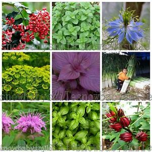 52-Variety-Herb-Seeds-Garden-Aromatic-Spices-Plant-Vegetable-Medicinal-Heirloom