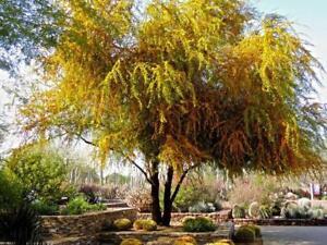 Semillas De árbol De Acacia Dulce Xeriscape Resistente A La Sequía