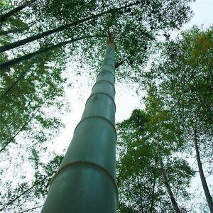 Chin Riesenbambus Samen 100 Stuck Moso Bambus Winterhart