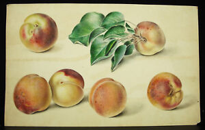 Pêches Dessin Original à L'aquarelle C1860 Peach Fruits Still Alive Nature Morte Eqyvv0yb-10103249-777125049