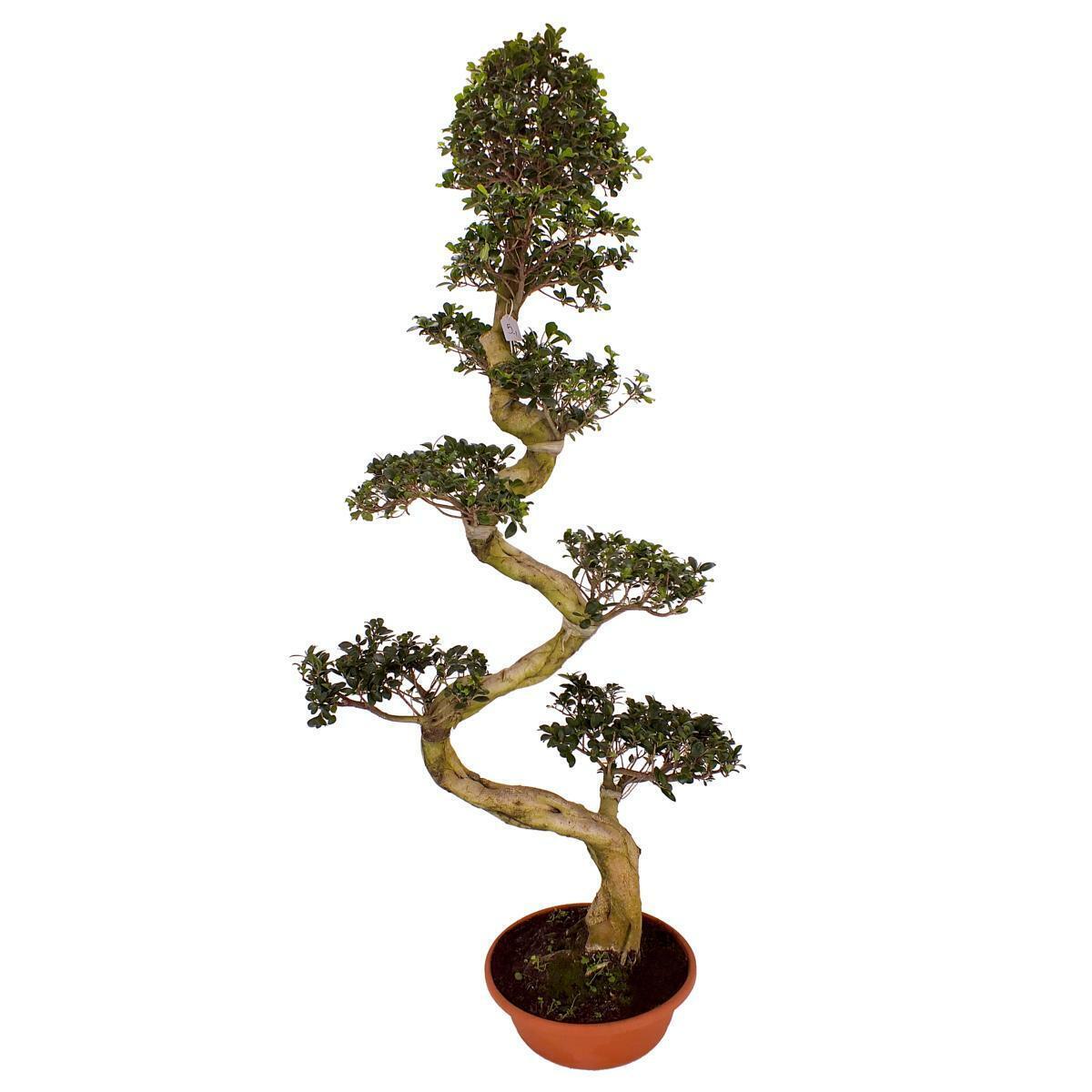 Bonsai Ficus microcarpa Ginseng 200 cm  nesische Feige Zimmerpflanze