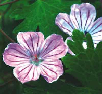 Flower - Geranium Albanum - 15 Seeds