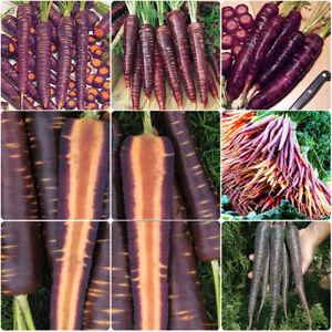 500pcs-Violette-Moehre-Lobbericher-Saatgut-Karotte-Gemuese-Samen-Saemereien-Moehren