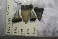 "2.53"" to 1.53"" Large Megalodon Shark Tooth Fossils -Giant Exctint Mako - 4 Teeth"
