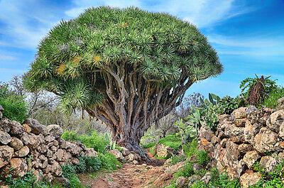Pflanzen Samen Terrasse Balkon Garten Exoten Sämereien Baum LACKBAUM