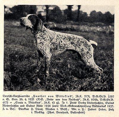 Panther Von Wittekind Deutsch-kurzhaar Jagdhunde & Züchter 1930-40 MöChten Sie Einheimische Chinesische Produkte Kaufen?