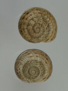 Iberus-ortizi-uncommon-Nice-pair