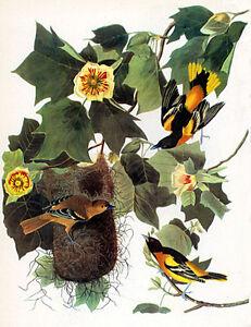 Audubon-Baltimore-Oriole-15x22-Hand-Numbered-Ltd-Edition-Fine-Art-Print