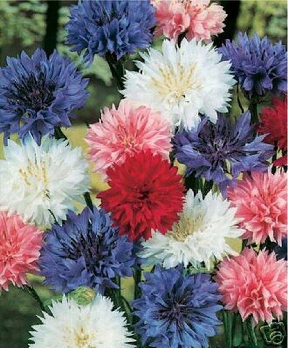 Bachelor Button- Centaurea Cyanus -Mix- 200 Seeds -