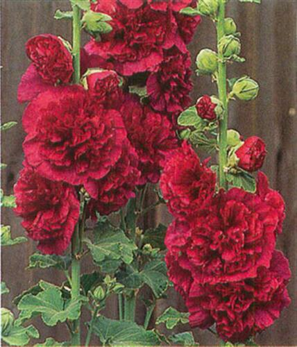 HOLLYHOCK LIPSTICK RED CHATERS DOUBLE ALCEA ROSEAS PERENNIAL FLOWER SEEDS 25