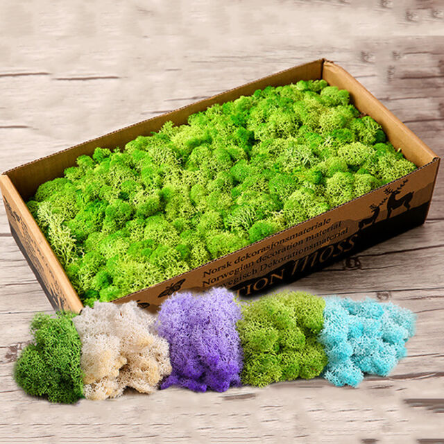 Norwegian Reindeer Moss 500gr including wooden box Natural Preserved Dried