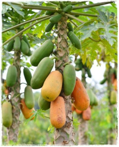 Papaya Formosa Fruit 25 Seeds Carica Papaya Tree Melon