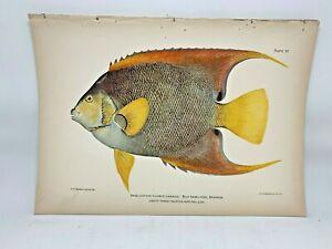 Original-Antique-Lithograph-Fishes-Puerto-Rico-Bien-1899-Plate-37-Blue-Angelfish