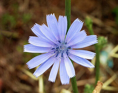 100 CHICORY / BLUE DAISY / SUCCORY Flower Herb Seeds