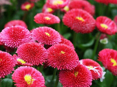 50 Seeds//Pack Red Daisy Seed Bellis Perennis Marguerite Original Package A118