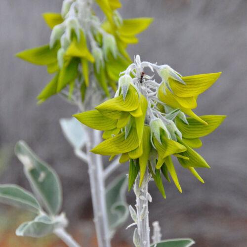 Crotalaria cunninghamii 10 Seeds Regal Birdflower