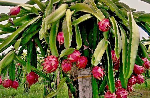 Hylocereus Undatus Cactus With Bizarrem Look Dragon Fruit Seeds
