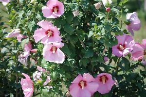 Pink Hibiscus Giant Tree 100 Seeds Rare Rose Of Sharon Ebay