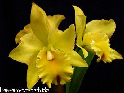 BIN-2) plants-Blc. Abbeville 'Golden Promise'  Award Quality! Must SEE!