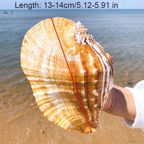 Natürlich Ellobium Shell Muschel Groß See Snail Fisch Tank Aquarium Einrichtung