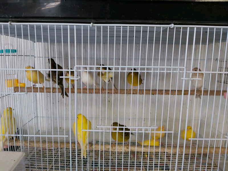 Breeding canary pairs R250
