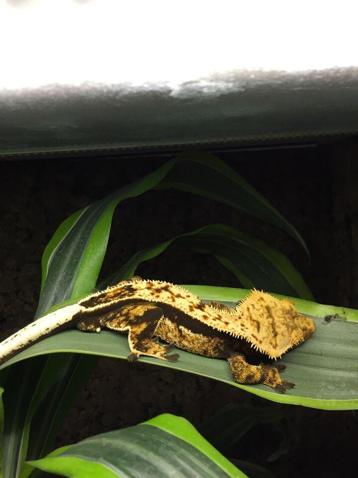 Gekko, Correlophus ciliatus